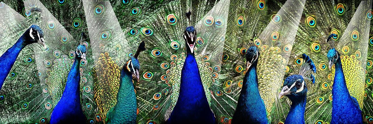 peacock-2459998_1280